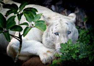 white tiger grenery